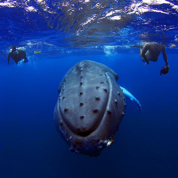 Swim With Humpback Whales In Dominican Republic